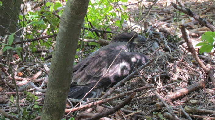Chick in fallen nest on ground @ Heiki Poolake