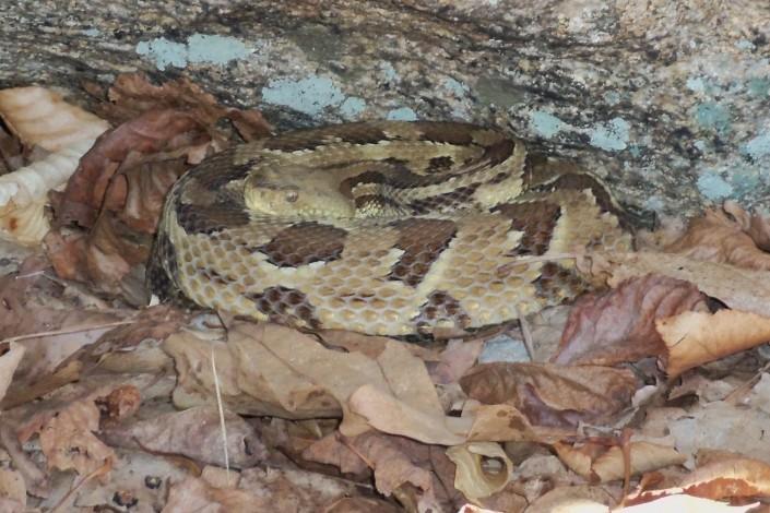 A timber rattlesnake resting outside its den. © Mike Davenport