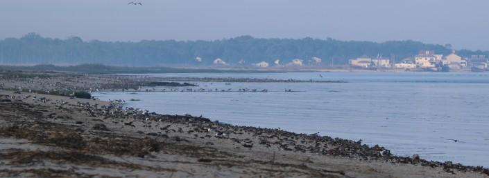 Early Morning Shorebirds on Delaware Bay