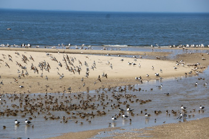 Red Knots on Fortescue