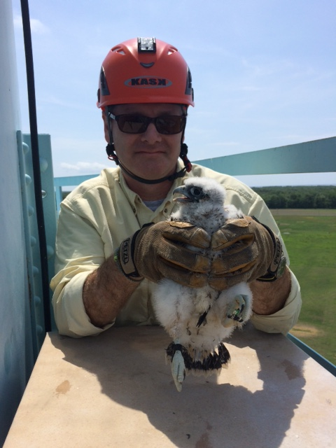 John Heilferty holds a 3.5 week old peregrine falcon as it was banded for future tracking.
