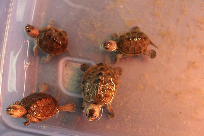 Terrapin Hatchlings by Kiran Sinah