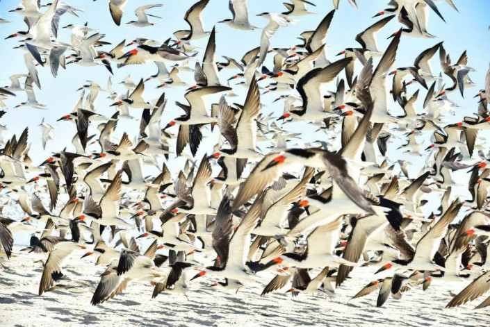 """""""Where's Waldo"""" - Black Skimmer Edition, as the colony takes flight. Photo by Sushanth Allapalli."""