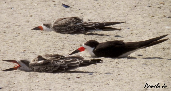 """Black skimmer fledglings executing their """"infamous"""" sand flop. Photo by Pamela Jo Capone."""