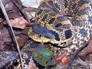 In 2016, the NJ Endangered & Nongame Advisory Committee approved that the eastern hognose snake be added to the state's list of Special Concern species. © Thomas Gorman
