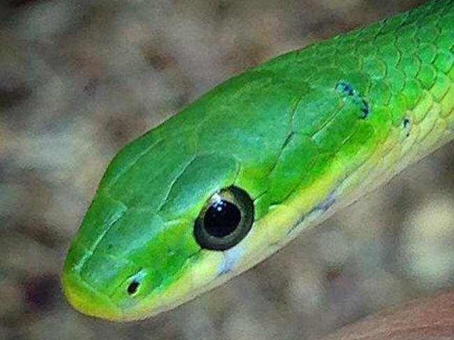 In 2016, the NJ Endangered & Nongame Advisory Committee approved that the rough green snake be added to the state's list of Special Concern species. © Keara R. Giannotti