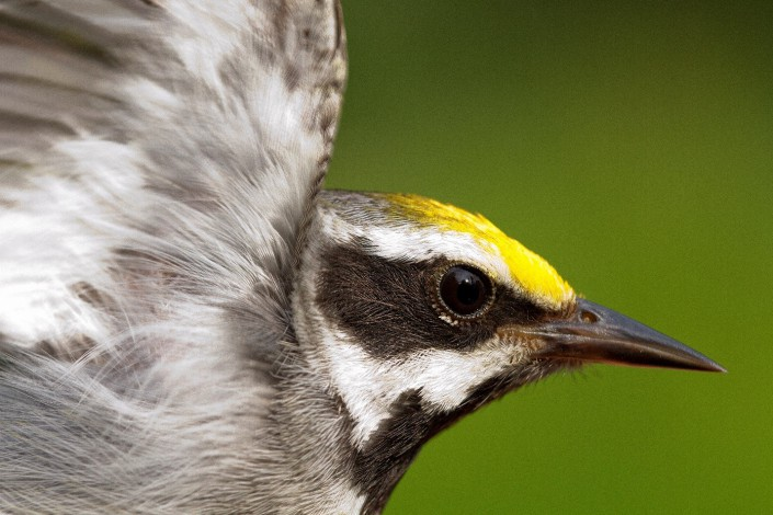 Golden-winged Warbler. Photo by D. Kenny Golden.