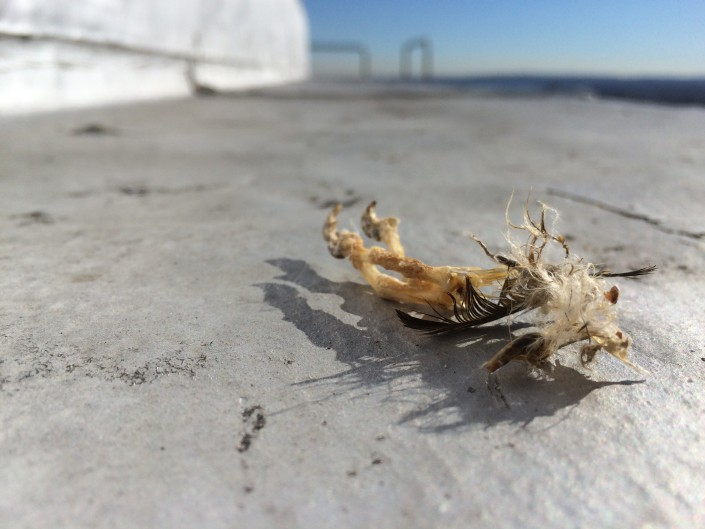 Prey remains atop the Union County Courthouse. Can you ID it? Photo by Ben Wurst
