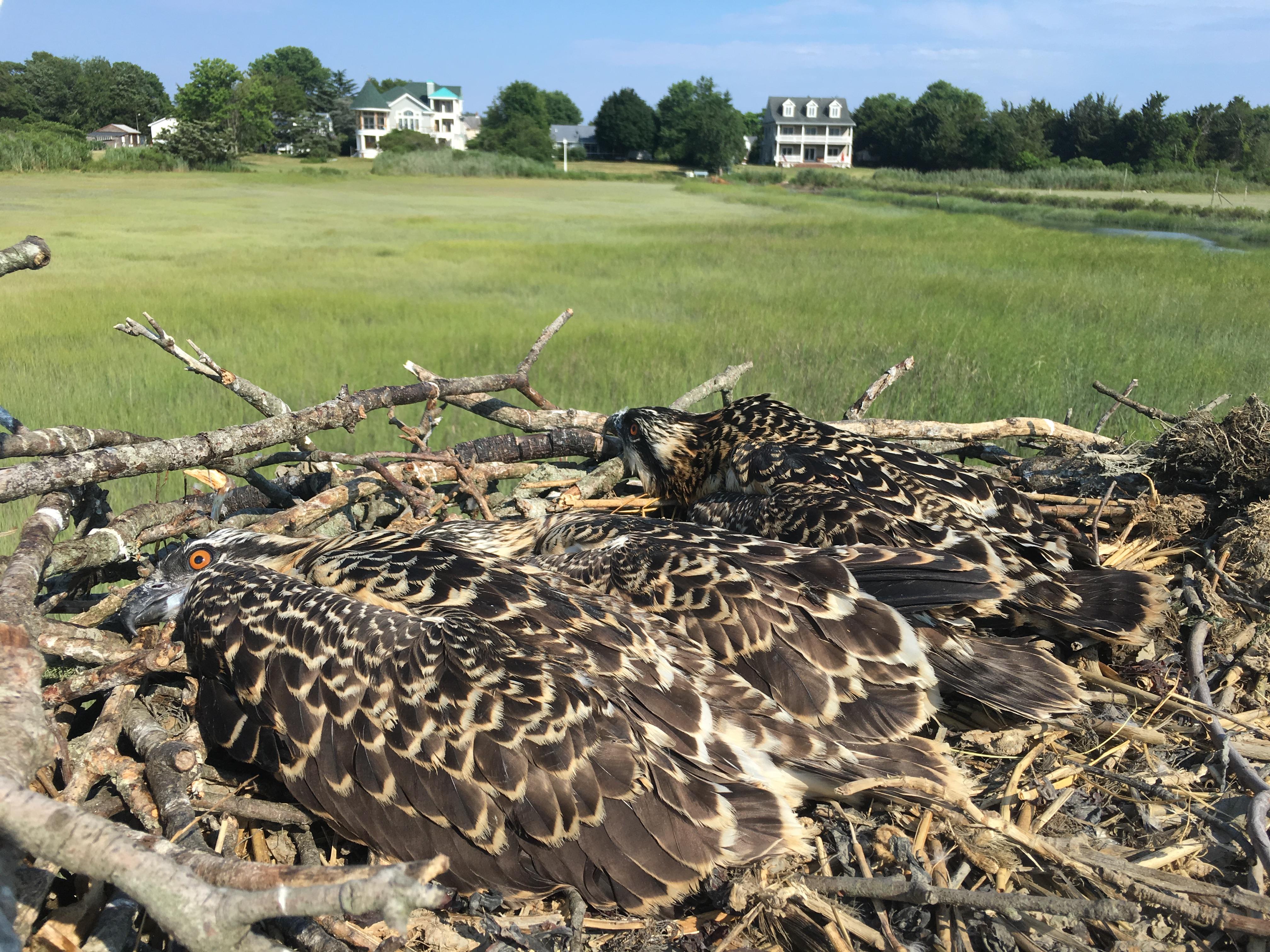 Grandmapd osprey nest 2017