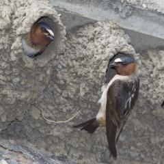 Image of Adult cliff swallows at their nests.