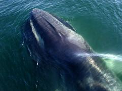 Image of A Fin whale surfaces to breath.