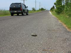 Image of From May - August hundreds of terrapins cross Great Bay Blvd. Slow down and allow them to cross or help in the direction they are traveling.