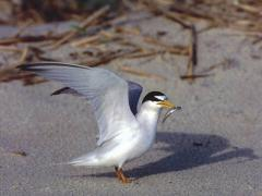 Image of An adult Least tern.