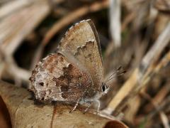 Image of Frosted elfin butterfly.