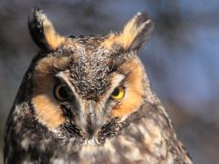Image of An adult Long-eared owl.