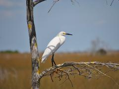 Image of The snowy egret is listed as a Species of Special Concern in New Jersey.