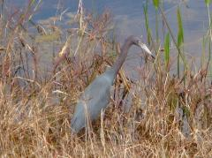 Image of The little blue heron is listed in New Jersey as a Species of Special Concern.