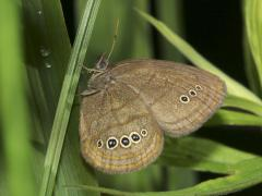 Image of Mitchell's satyr butterfly rests on a blade of grass.