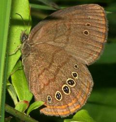 Image of A Mitchell's satyr butterfly.