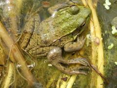 Image of This green frog's deformities are caused by parasites found in nitrogen and phosphorus rich waters due to fertilizer run-off.
