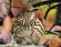 Image of An adult brown thrasher.