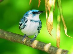 Image of An adult male cerulean warbler.