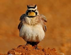 Image of Horned lark.