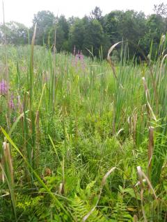 Image of The unique fen plant communites found at bog turtle sites are susceptible to encroachment by invasive species like cattail and purple loosestrife.