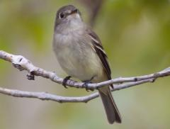 Image of Least flycatcher.