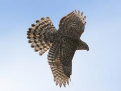 Image of A Northern goshawk in flight.