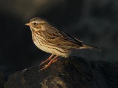 Image of An ipswich sparrow.