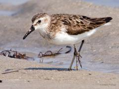 Image of A semipalmated sandpiper.