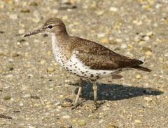 Image of An adult spotted sandpiper.