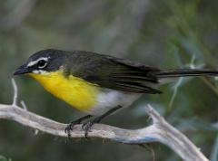 Image of An adult yellow-breasted chat.