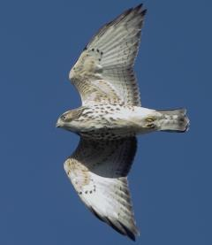 Image of A broad-winged hawk in flight.