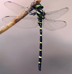 Image of An adult male tiger spiketail.