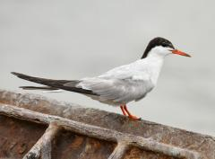 Image of A common tern.