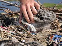 Image of Removing ribbon from an Osprey nestlings leg at a nest on Great Bay in New Jersey.