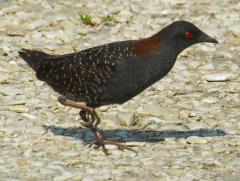 Image of An adult black rail.