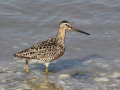 Image of The short-billed dowitcher is a medium to large shorebird with a long bill.