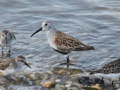 Image of Dunlin are very common in New Jersey during spring and fall migration.