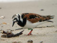 Image of A ruddy turnstone searches for food on a Delaware Bay beach.