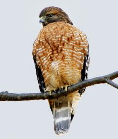 Image of The Red-shouldered hawk perches on a tree branch.