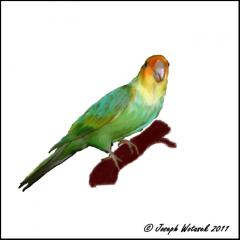 Image of Carolina parakeet.