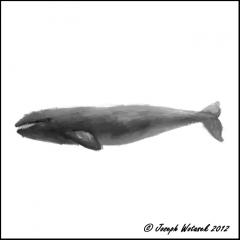 Image of North Atlantic gray whale.