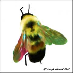 Image of Rusty-patched bumble bee.