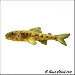 Image of Trout-perch.