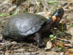 Image of The bog turtle is the smallest turtle in North America, reaching only 4 inches at maturity.