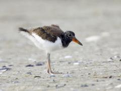 Image of An American oystercatcher chick.