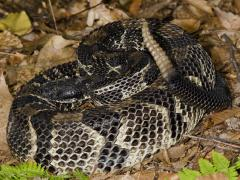 Image of A black phase timber rattlesnake.